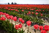 Skagit Valley Tulips 009