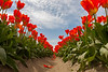 Skagit Valley Tulips 138