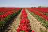 Skagit Valley Tulips 105