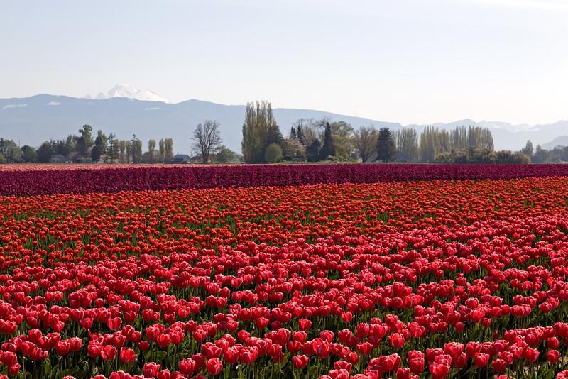 Skagit Valley Tulips Morning 107