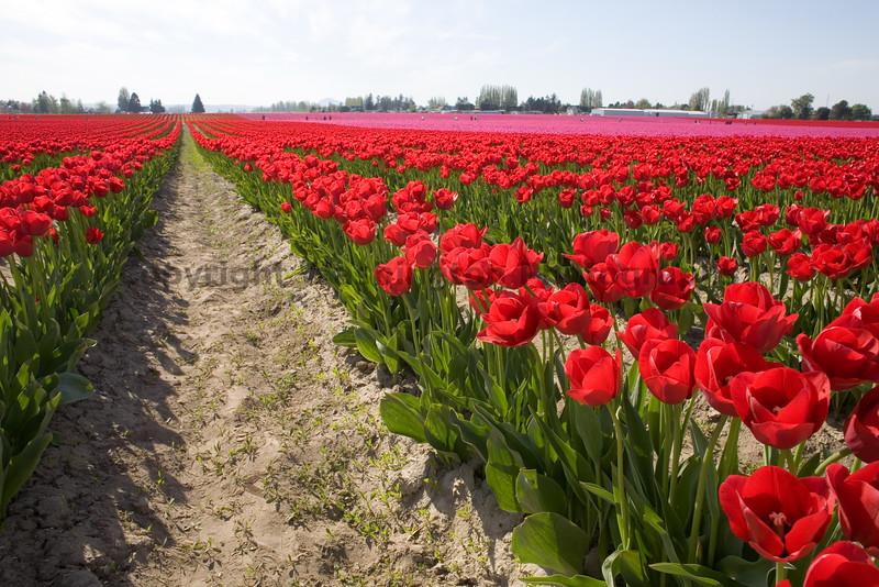 Skagit Valley Tulips 015