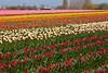 Skagit Valley Tulips 128