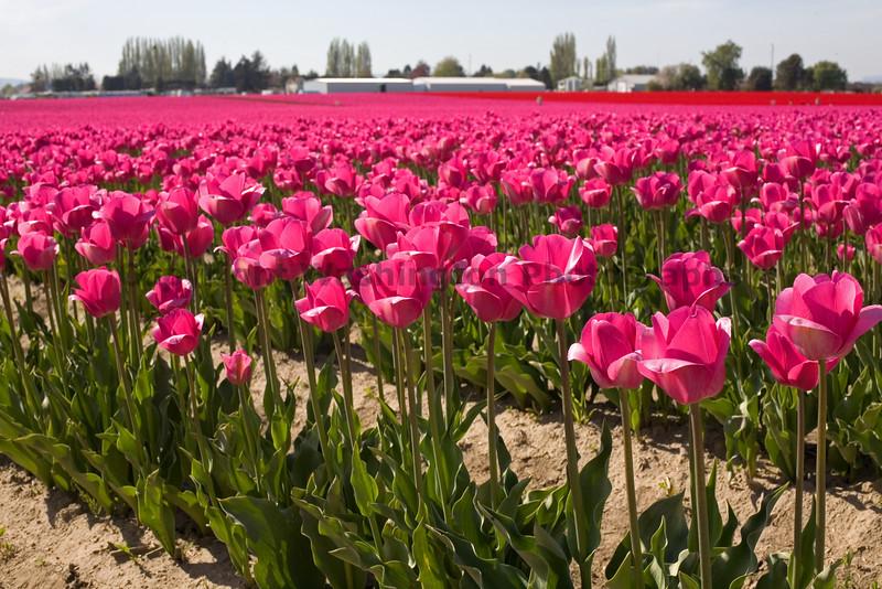 Skagit Valley Tulips 012