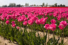 Skagit Valley Tulips 012