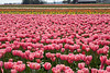 Skagit Valley Tulips 137