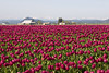 Skagit Valley Tulips 100