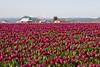 Skagit Valley Tulips 100