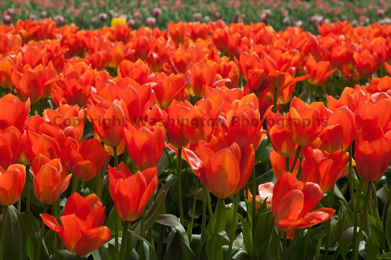 Skagit Valley Tulips 130