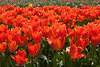 Skagit Valley Tulips 130