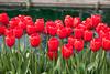 Skagit Valley Tulips 120