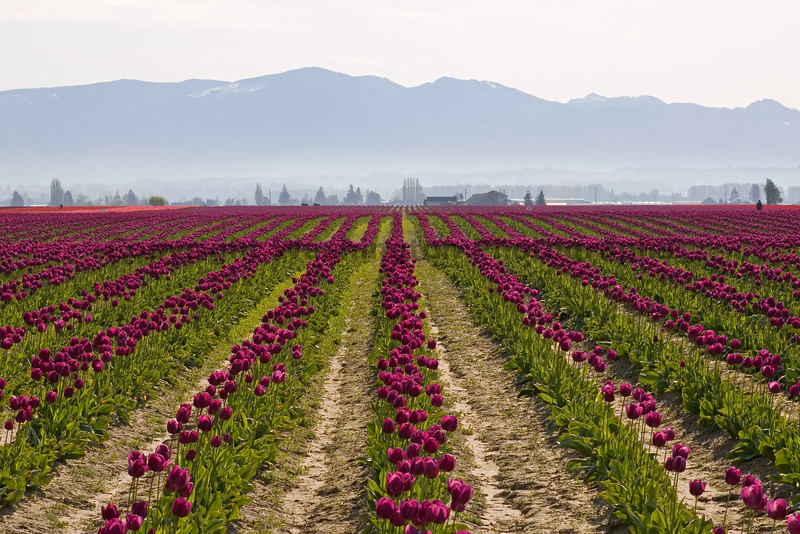 Skagit Valley Tulips Morning 102