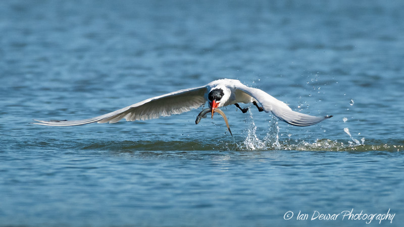 Caspian Tern with catch of fish