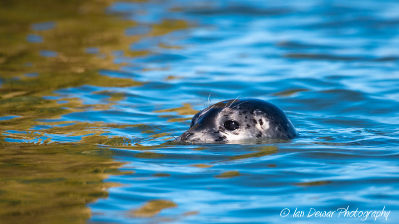 Seal Pup in Puget Sound