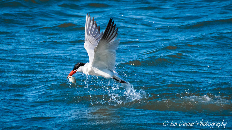 Caspian Tern fishing
