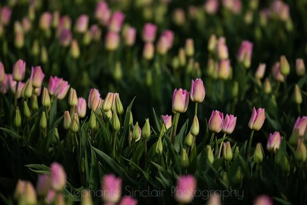Tulips at Sundown