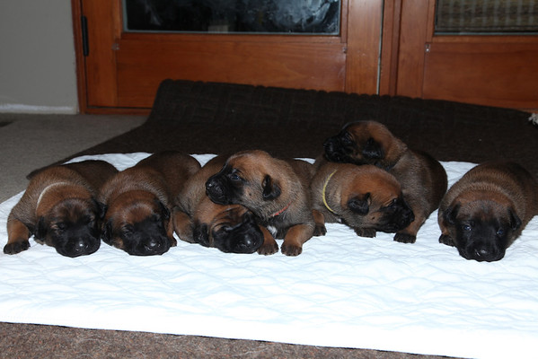 Puma puppies born June 6 2014