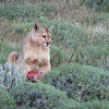 This Puma is often observed and so is well known, she has been called Hermanita.
