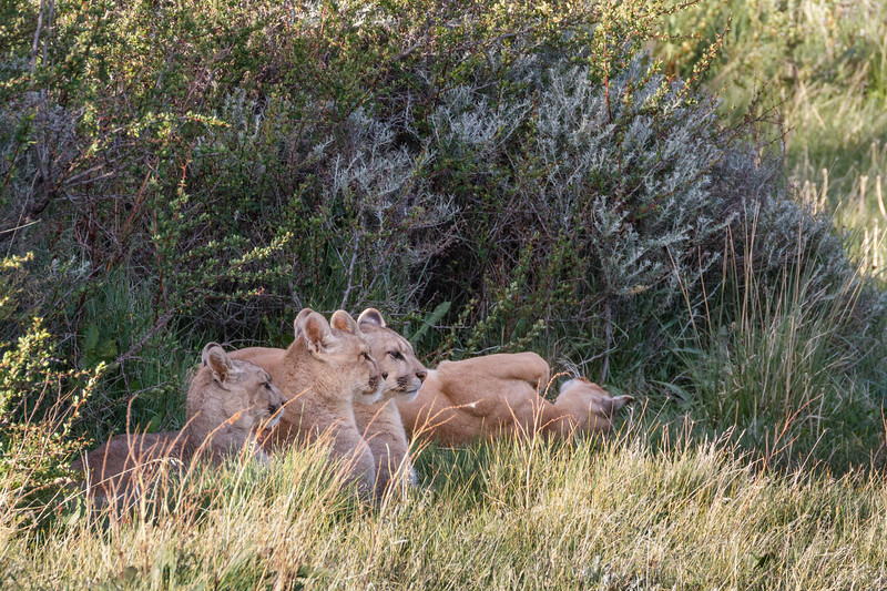 The female rolled around as all three cubs waited for her to give the signal to move.