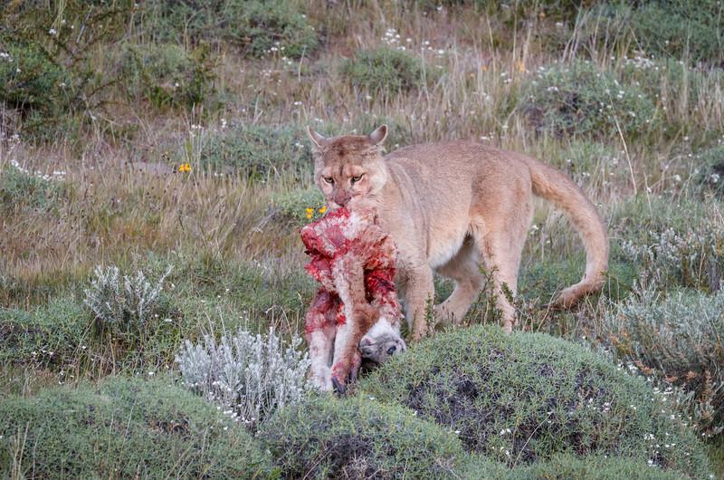 Dragging the carcass away.