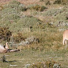The mother, known as Sarmiento, was finishing off the carcass while one of her cubs relaxed nearby with a full belly.