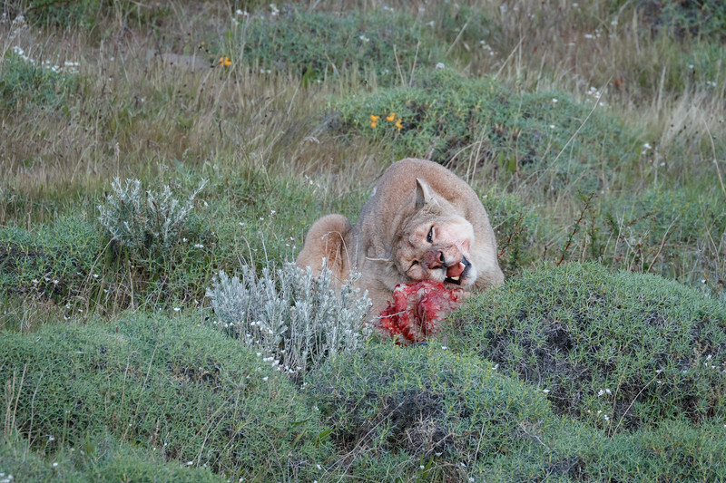 Finishing the last scraps of the carcass.