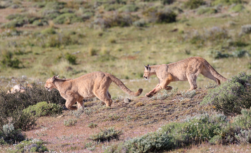 The male cubs raced after their mother, seeming to play tap-tag.