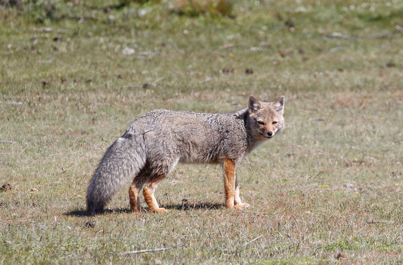 It wasnt all pumas, here a red fox (Lycalopex culpaeus) walks across the grounds of an estancia.