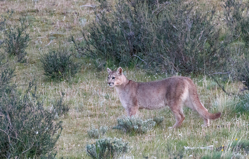 One of two six-month old cubs that we saw early one morning with their mother finishing off the carcass of another guanaco calf.