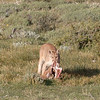 The following morning our superb tracker Jorge found a family of four pumas on a guanaco calf kill.