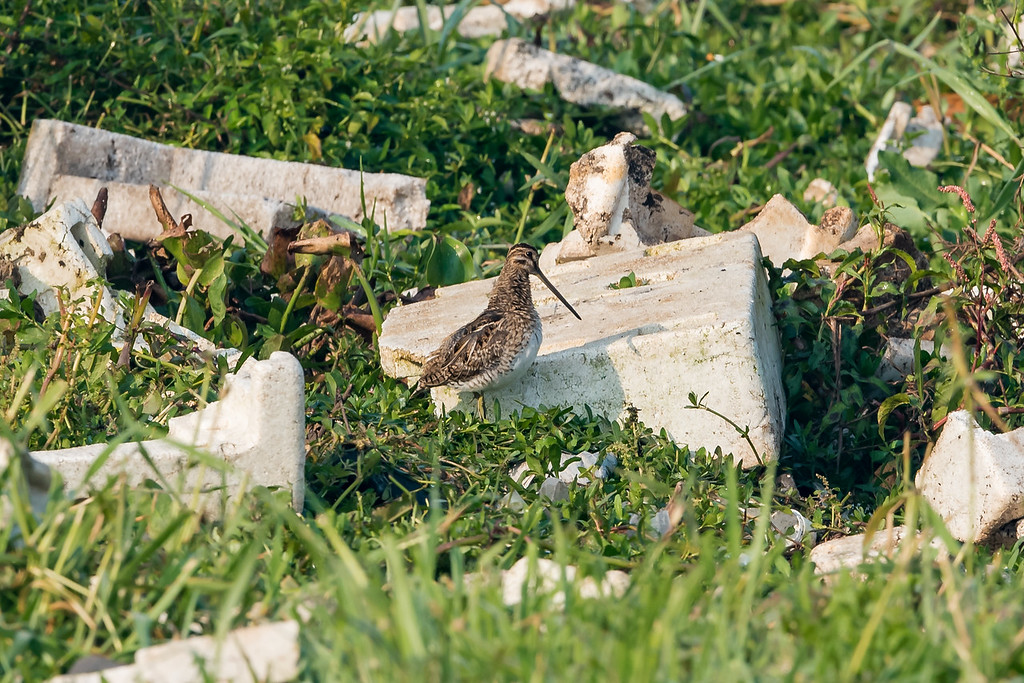 Common Snipe amidst mountains of trash