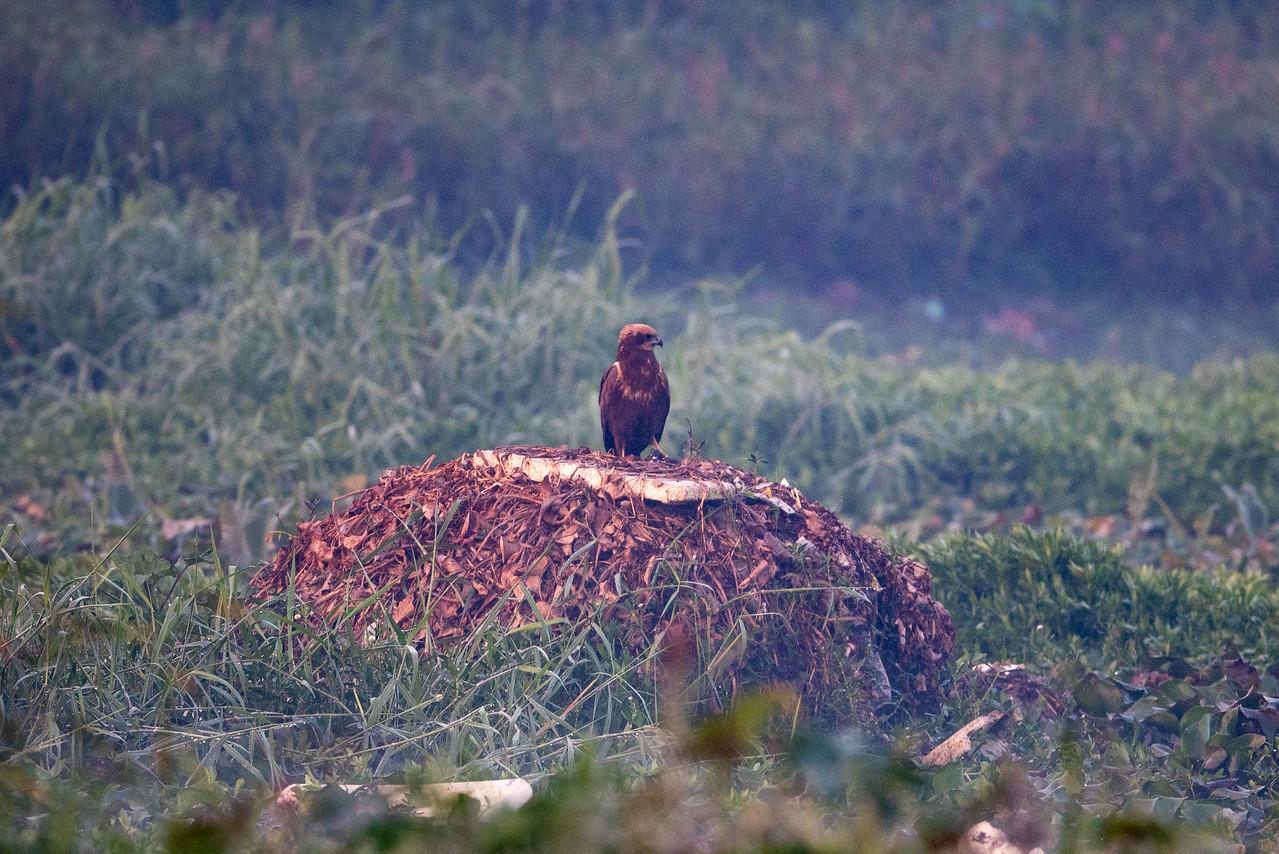 Eurasian Marsh Harrier (f)