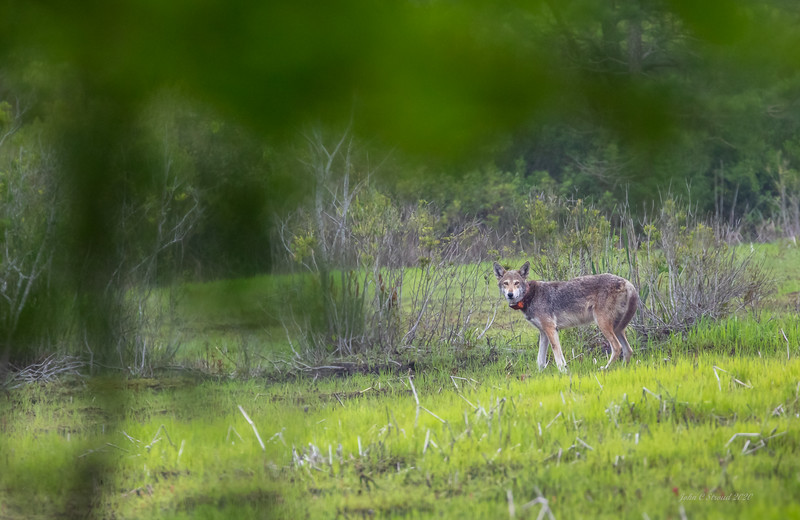 Wild Male Red Wolf : NC is the only place in the world where you can find red wolves in the wild!