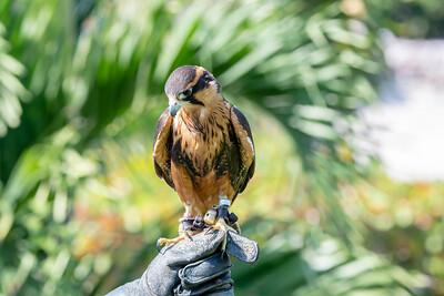 Aplomodo Falcon ( Falco femoralis)