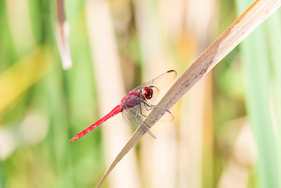 Red-tailed Skimmer (Orthemis schmidti)