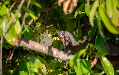 Rufous-bellied Chachalaca (Ortalis wagleri)