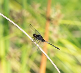 Black Pondhawk (Erythemis attala)