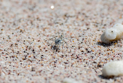 Ghost Crab (Ocypodinae)
