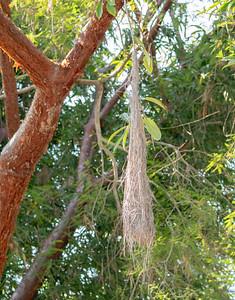 Yellow-winged Cacique (Cassiculus melanicterus) Nest