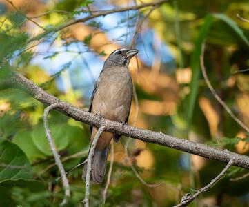 Grayish Saltator (Saltator coerulescens)