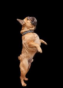 Bowser French Bulldog