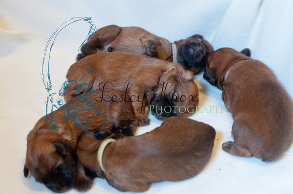 Wheaten Puppies 2014