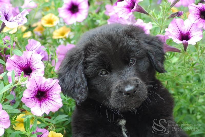 New Found Land Puppy Picture