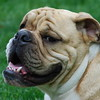 Bull Dog Picture