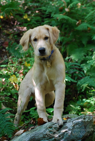 Golden Lab Puppy Picture