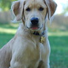 Golden Lab Puppy Picture