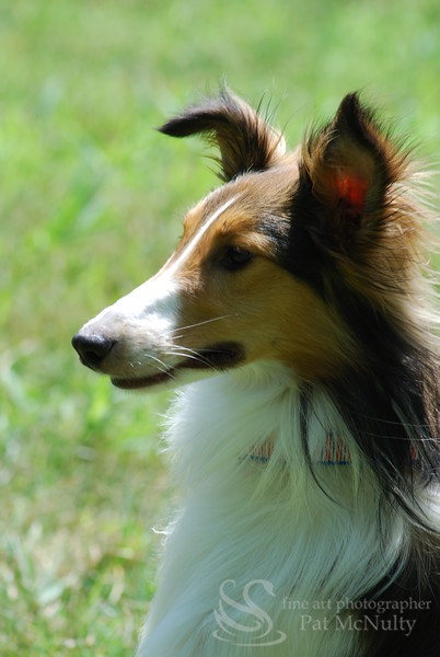 Collie Dog Photograph