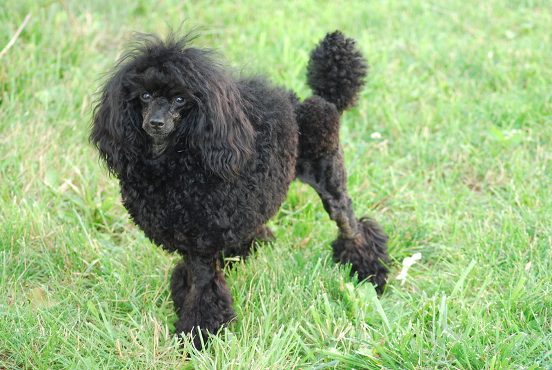 Black Poodle Dog Photo