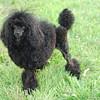 Black Poodle Dog Photo