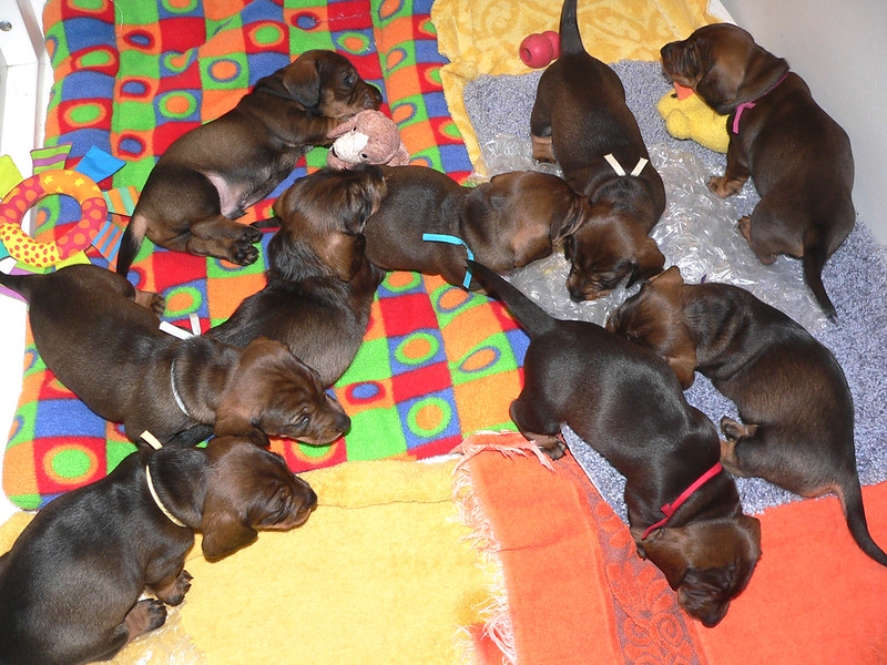 November 11, week #4<br /> Bubble wrap is a good way to introduce pups to sudden, loud noises.