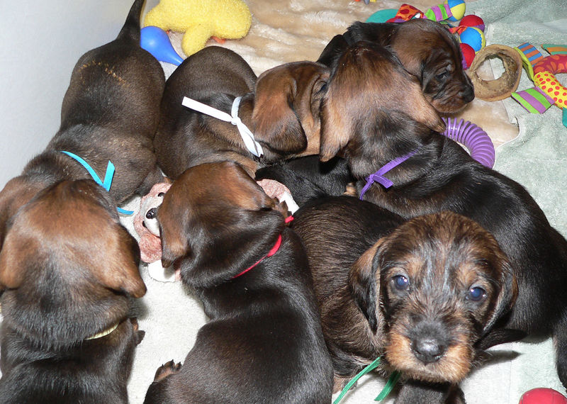 Week #4<br /> There is a lot of action and play going on in the whelping box. Now puppies can play well with their toys and each other.